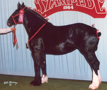 Trem-Y-Wddfa Black Beauty